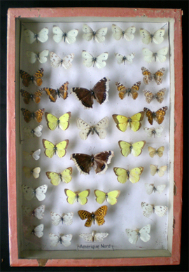 Collection_papillons_naturalises_1