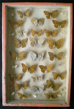 Collection_papillons_naturalises_2