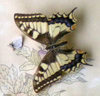 Collection_papillons_naturalises__2