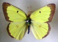Collection_papillons_naturalises_de