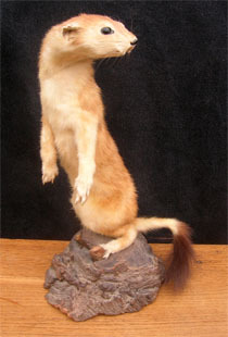 Fouine_taxidermiste